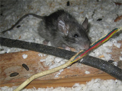 mice in attic morris county nj