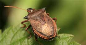 stink bug removal