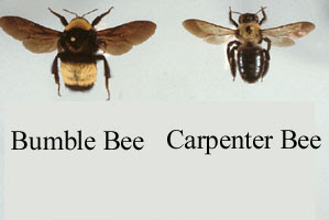 Carpenter Bee Exterminator Morris County