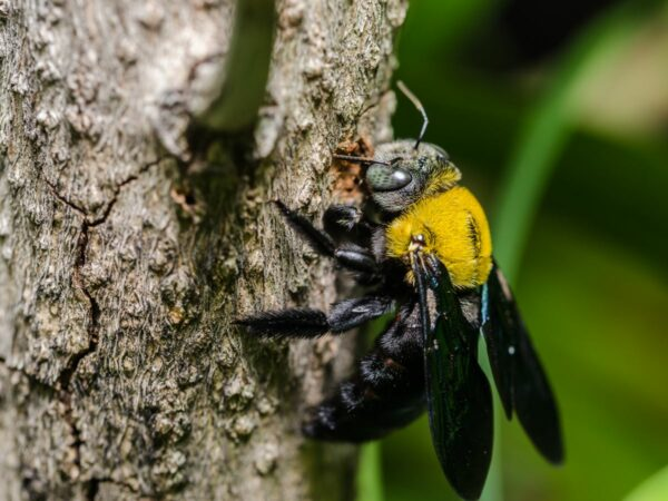 Carpenter Bee Control Morristown, NJ